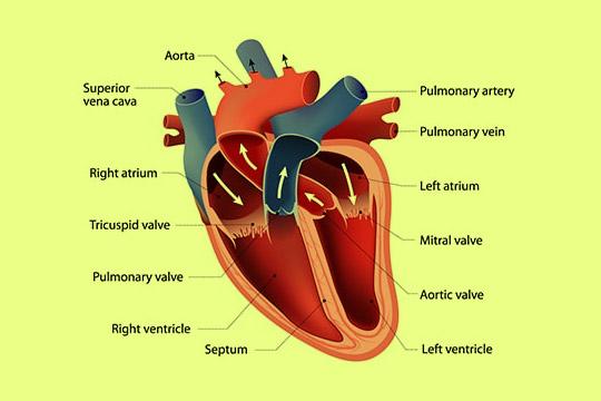 heart-structure1.jpg