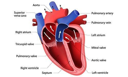 heart_structure-2.jpg